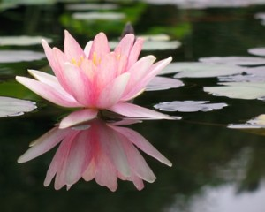 A bright pink lotus flower with a beautiful reflection in the water